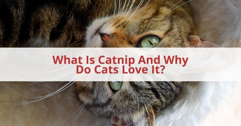 What Is Catnip And Why Do Cats Love It