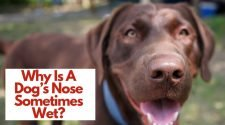 Why Is A Dog's Nose Sometimes Wet