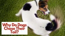 Why Do Dogs Chase Their Tails