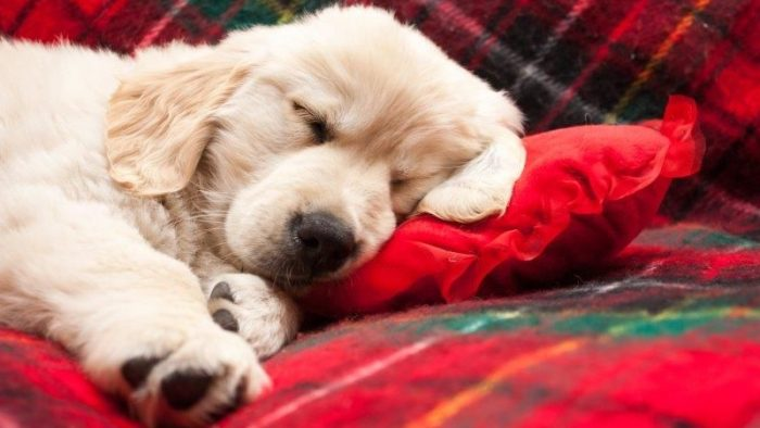 Why Do Dogs Dream?