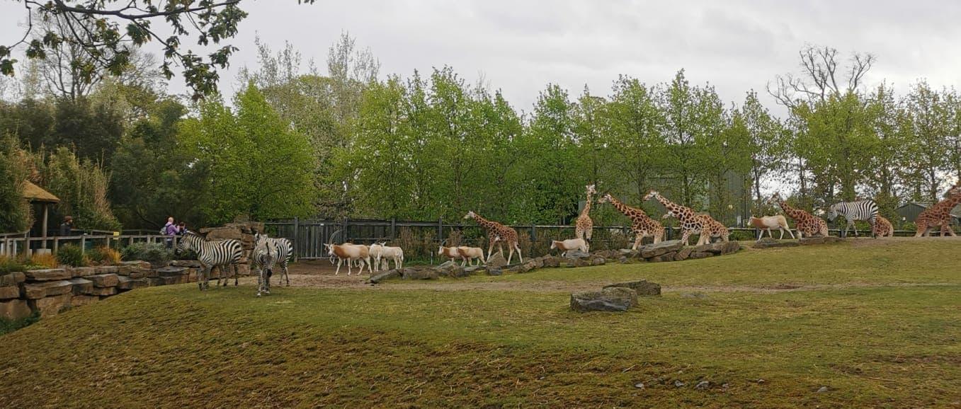Dublin Zoo Giraffes