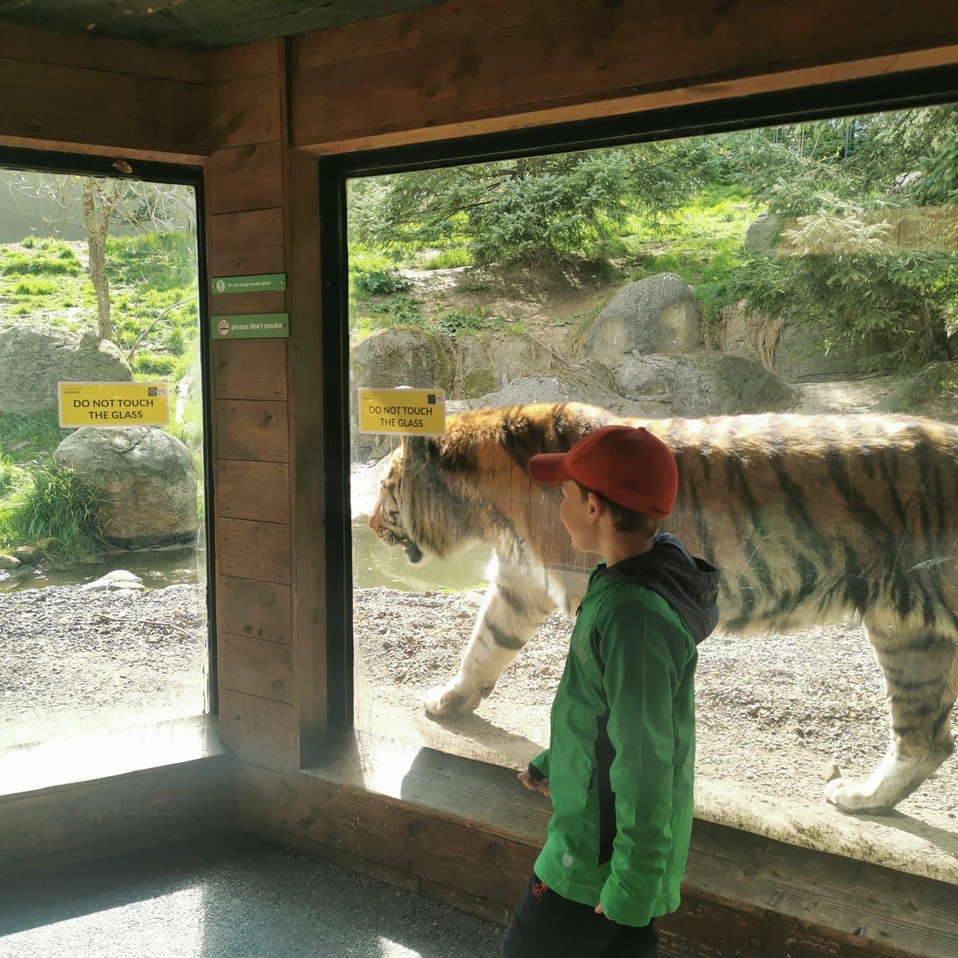 Dublin Zoo Tiger